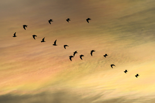 アジサシの群れの写真素材 [FYI00891782]