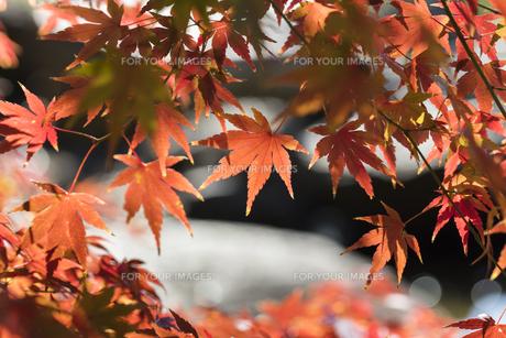 秋の東京、水辺の紅葉の写真素材 [FYI00892025]