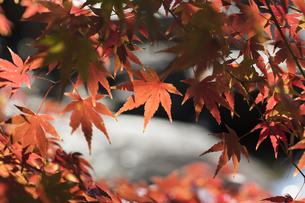 秋の東京、水辺の紅葉の写真素材 [FYI00892027]