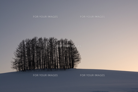 冬の夕暮れの丘とカラマツ林 美瑛町の写真素材 [FYI00892225]