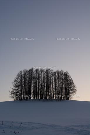 冬の夕暮れの丘とカラマツ林 美瑛町の写真素材 [FYI00892226]