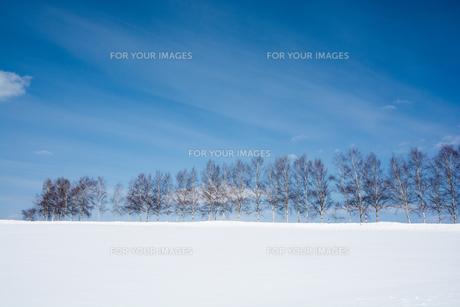 冬の青空とシラカバ並木の写真素材 [FYI00892232]