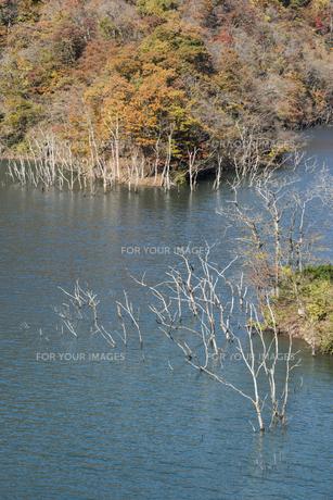 徳山湖の紅葉と枯れ木群の写真素材 [FYI00892470]