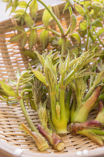 春の山菜たらの芽の写真素材 [FYI00892471]