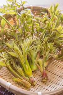 春の山菜たらの芽の写真素材 [FYI00892472]