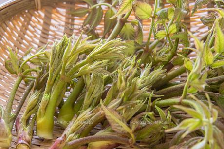 春の山菜たらの芽の写真素材 [FYI00892473]