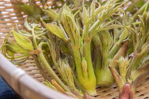春の山菜たらの芽の写真素材 [FYI00892474]