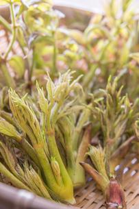 春の山菜たらの芽の写真素材 [FYI00892475]