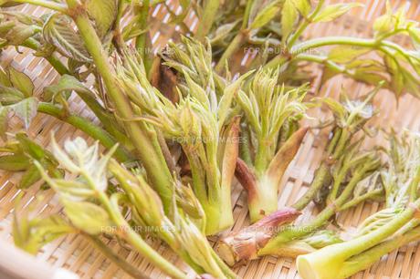 春の山菜たらの芽の写真素材 [FYI00892480]