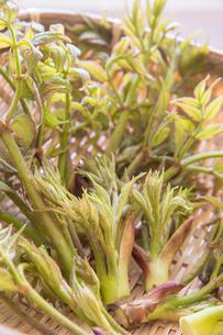 春の山菜たらの芽の写真素材 [FYI00892481]
