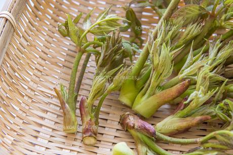 春の山菜たらの芽の写真素材 [FYI00892482]