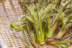 春の山菜たらの芽の写真素材 [FYI00892483]