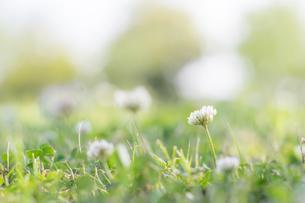 初夏の白詰草の写真素材 [FYI00892648]