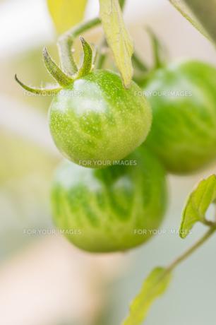 ミニトマト栽培の写真素材 [FYI00892658]