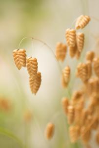 庭先に咲くコバンソウの写真素材 [FYI00892659]