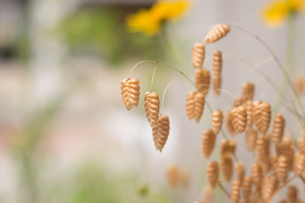 庭先に咲くコバンソウの写真素材 [FYI00892662]