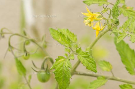 ミニトマト栽培の写真素材 [FYI00892664]