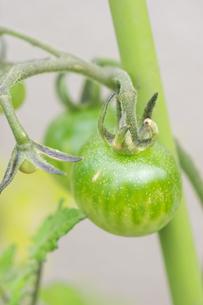 ミニトマト栽培の写真素材 [FYI00892665]