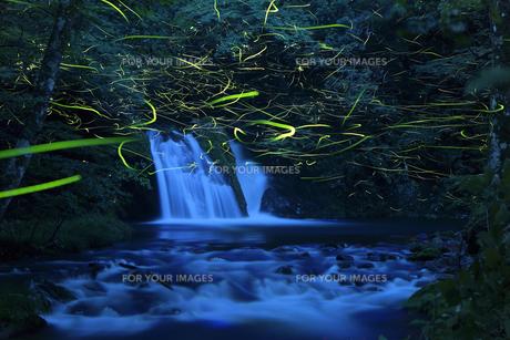 小滝に集うゲンジボタルの写真素材 [FYI00892763]