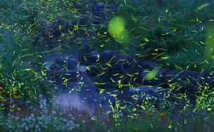ゲンジボタルの舞う公園の写真素材 [FYI00892764]