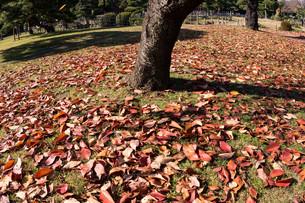 紅葉の絨毯の写真素材 [FYI00892960]