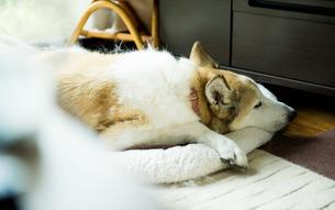 昼寝する犬の写真素材 [FYI00893576]