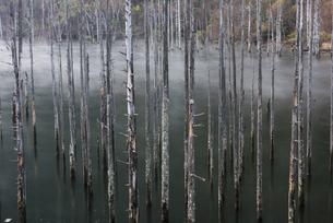 木曽自然湖の枯れ木群の写真素材 [FYI00893608]