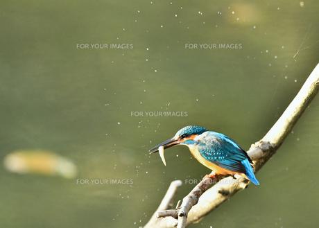 カワセミの捕食の写真素材 [FYI00894471]