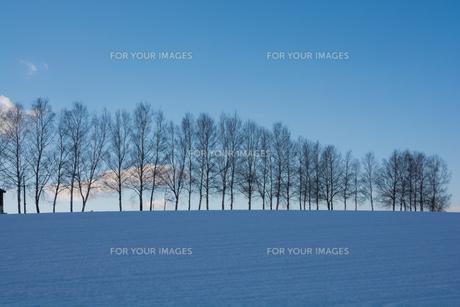 冬の青空と丘の上のシラカバ並木 美瑛町の写真素材 [FYI00894499]