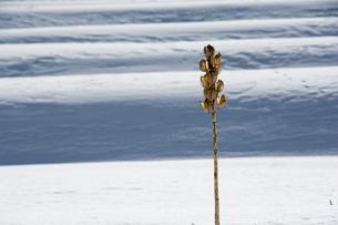 冬の段々畑と枯れたオオウバユリの写真素材 [FYI00894514]