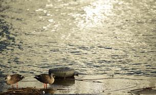 夕陽の照らす海面と海鳥の風景の写真素材 [FYI00894534]
