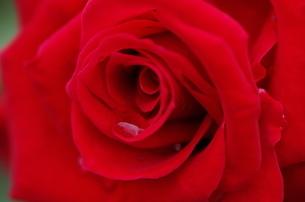 赤バラの写真素材 [FYI00894921]