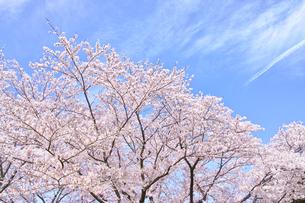 ふんわり感のある満開の桜の木の写真素材 [FYI00894951]