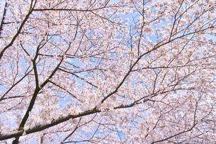 ふんわり感のある満開の桜の木の写真素材 [FYI00894955]
