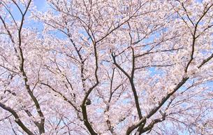 ふんわり感のある満開の桜の木の写真素材 [FYI00894958]
