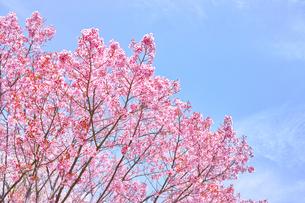 ピンク色の桜の写真素材 [FYI00894969]