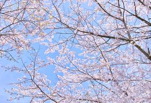 ふんわり感のある満開の桜の木の写真素材 [FYI00894973]