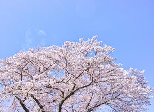 ふんわり感のある満開の桜の木の写真素材 [FYI00894975]