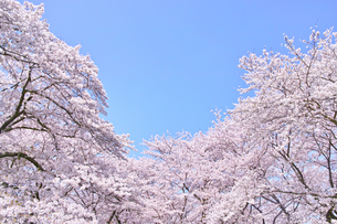 ふんわり感のある満開の桜の木の写真素材 [FYI00894977]