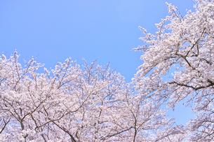 ふんわり感のある満開の桜の木の写真素材 [FYI00894979]