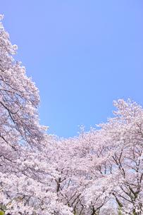 ふんわり感のある満開の桜の木の写真素材 [FYI00894982]