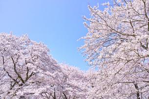 ふんわり感のある満開の桜の木の写真素材 [FYI00894984]