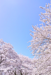 ふんわり感のある満開の桜の木の写真素材 [FYI00894986]