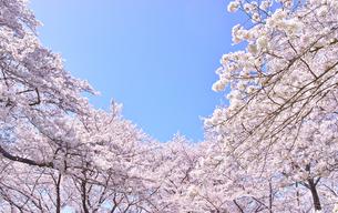 ふんわり感のある満開の桜の木の写真素材 [FYI00894988]