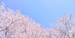 ふんわり感のある満開の桜の木の写真素材 [FYI00894992]