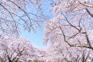 ふんわり感のある満開の桜の木の写真素材 [FYI00894994]