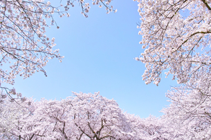 ふんわり感のある満開の桜の木の写真素材 [FYI00894996]