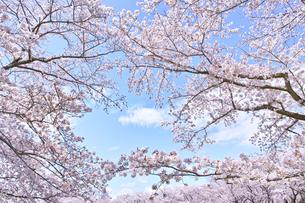ふんわり感のある満開の桜の木の写真素材 [FYI00894998]