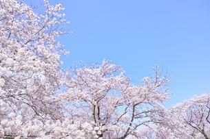 ふんわり感のある満開の桜の木の写真素材 [FYI00895000]