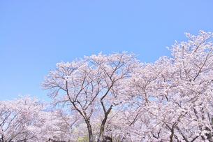 ふんわり感のある満開の桜の木の写真素材 [FYI00895002]